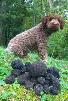 truffle-dog